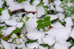 Winter Snow On The Ivy Bush Stock Image