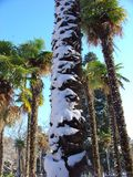 Winter, snow on palm tree Stock Images