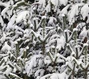 Winter snow on pine Stock Image