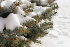 Winter snow on pine branches. With tiny natural cones at the tips over a background of pristine white frsh snow ion the ground Stock Photos