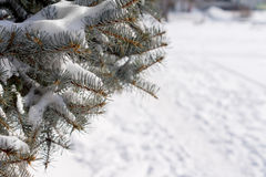 Winter snow on a pine tree. With snow-laden branches overhanging a fresh fall of white snow on the ground with copyspace Royalty Free Stock Image
