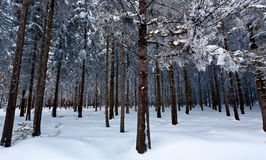 Winter snow pine tree wood, High Fens, Belgium stock photography