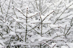 Winter Snow on Plant Stock Image