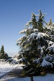 Winter snow scene. Snow  white pines Stock Photo