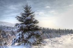 Winter Snow Scene HDR. Winter snow scene with pine trees and sky in HDR stock photos