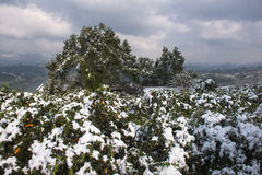 Winter Snow Scenery in Citrus Orchards Stock Images