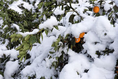 Winter Snow Scenery in Citrus Orchards Royalty Free Stock Photography