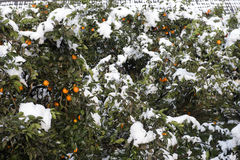 Winter Snow Scenery in Citrus Orchards Stock Photos