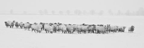 Winter, Snow, Sheep, Animals, Cold Stock Photography