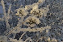 Winter. Snow showered all the little twigs white fluff Royalty Free Stock Photography