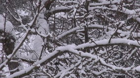 Winter snow snowflake falling and tree branch stock video footage