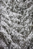 Winter. Snow on spruse brunches Stock Photography