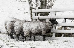 Four Sheep Snow Storm Noordeloos. Winter snow storm with snowy meadows and black and white sheep, near Noordeloos Royalty Free Stock Photo