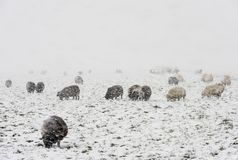 Sheep in Snow Storm Noordeloos. Winter snow storm with snowy meadows and black and white sheep, near Noordeloos Royalty Free Stock Photos