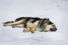 In winter, the snow is a stray dog. Royalty Free Stock Photo