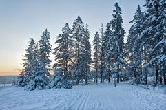 Winter snow sunset trees, High Fens, Hautes Fagnes, Belgium royalty free stock photo