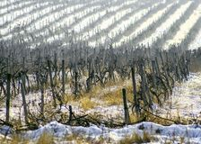 Winter snow theme landscape at the vineyard royalty free stock photo
