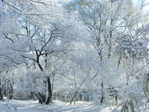 Winter snow and trees. Stock Images