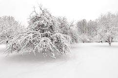 Winter with snow on trees. Apple trees after winter snow storm Royalty Free Stock Photo
