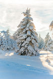 Winter snow trees forrest sun mountain Stock Image