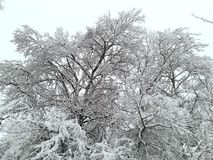 Winter. Snow and trees. Nice background Royalty Free Stock Image
