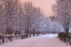 Winter snow trees. Park with alley tree rows. Winter snow trees. Park with alley tree rows in pink light Stock Photo