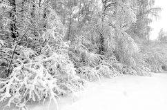 Winter with snow on trees. Trees in winter snow storm Stock Image