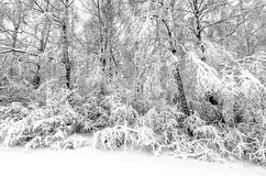 Winter with snow on trees. Trees in winter snow storm Royalty Free Stock Photos