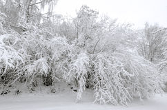 Winter with snow on trees. Trees in winter snow storm Royalty Free Stock Photo