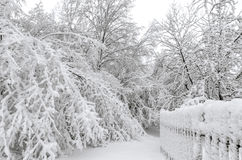 Winter with snow on trees. Trees in winter snow storm Stock Images