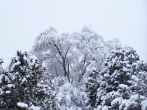Winter snow weighing down trees in Santa Fe royalty free stock photo