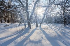 Winter snowbound forest in a rays of sun Royalty Free Stock Photography