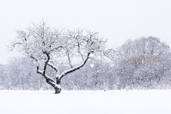 Winter Snowfall. Single tree with lots of character stands out in a field while large snowflakes fall around it stock photography