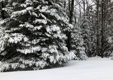 Winter snowfall on Pine trees in the forest royalty free stock photography