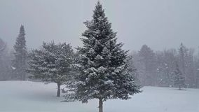 Winter Snowfall with Spruce and Pine Tree stock footage