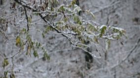 Winter snowstorm in the forest with a focus change. On the branch with autumn leaves stock footage
