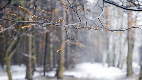 Winter snowstorm in the woods. Focus on the branch of a tree during a snowstorm stock footage