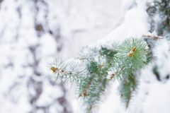 Winter snowy background. Fir tree branches covered with snow in forest. royalty free stock images