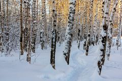 Winter snowy birch grove and footpath in the sunset light stock images
