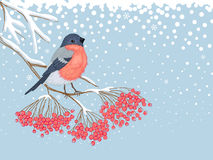 Winter snowy card with bullfinch on the branch of rowan. Winter blue snowy horizontal card with beautiful bright Bullfinch on the branch of red rowan and empty stock illustration
