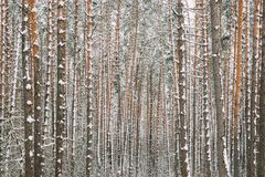 Winter Snowy Coniferous Forest During Snowy Day. Pines Trunks Ba stock image