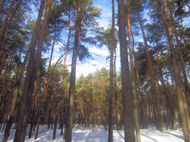 Winter snowy day in a pine forest Stock Image