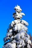 Winter snowy fir Stock Photo
