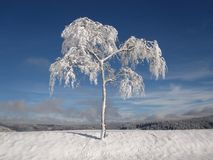 Winter, Snowy, Firs, Christmas Stock Images