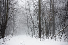 Free Winter Snowy Forest Royalty Free Stock Photo - 33873215