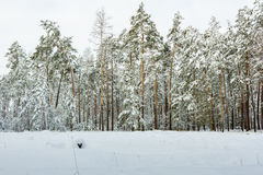 Winter snowy forest. Beautiful winter snow forest. East Europe. Ukraine Stock Photos