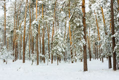 Winter snowy forest. Beautiful winter snow forest with sunbeams. East Europe. Outdoor Stock Photo