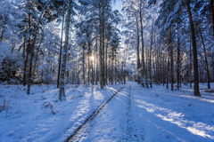 Winter snowy forest in the morning in winter Royalty Free Stock Photo