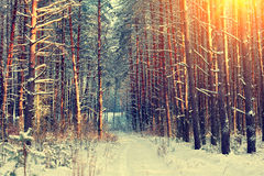 Winter snowy forest Stock Photo