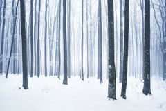 Winter snowy forest scene. Winter snowy and foggy beech forest scene Royalty Free Stock Images